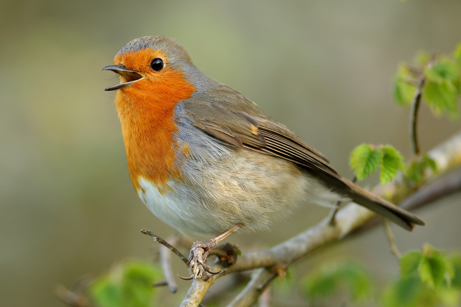 Robin, Woods Mill Nature Reserve