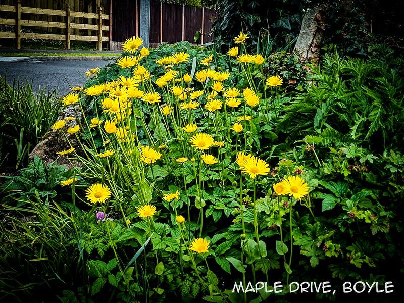 Maple-Drive,-Boyle