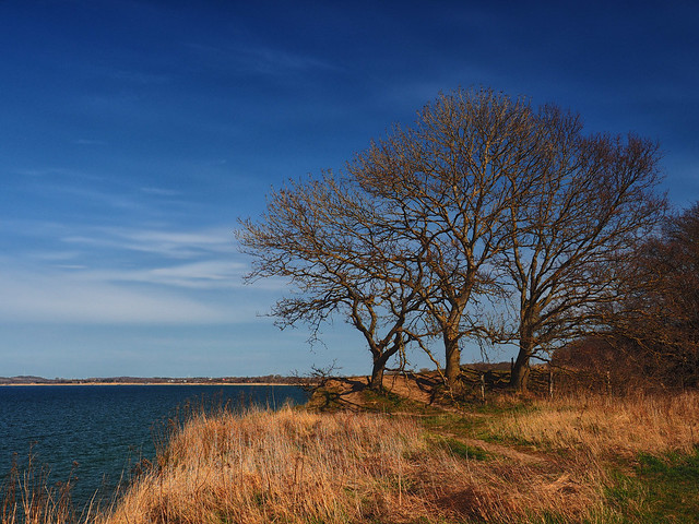 Three trees on the cliff of the Baltic Sea