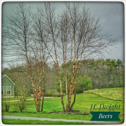 lumixlx100mk2 brunswickmaine horizonrehab trees snapseed 4kscenes horizonlivingandrehabcenter yellowbirch betulaallegheniensis