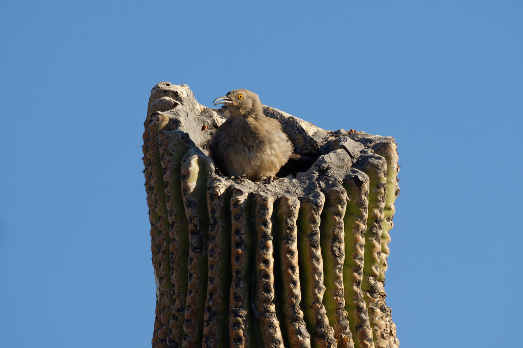 A curve-billed thrasher sings from the cavity of a broken saguaro in Scottsdale, Arizona on March 20, 2021. Original: _RAC5219.arw