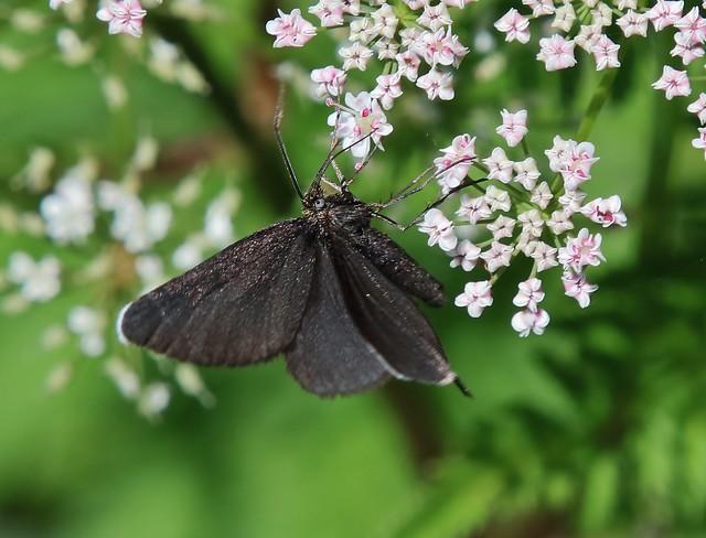 Moth - Chimney sweeper