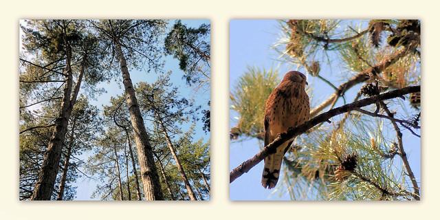 Crécerelle dans les pins