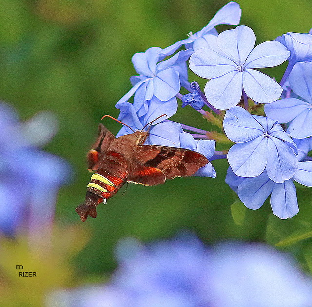 NESSUS SPHINX MOTH feeding on Plumbago nectar. The Beauty Of God's Creation in Haines City Florida USA 4/29/21