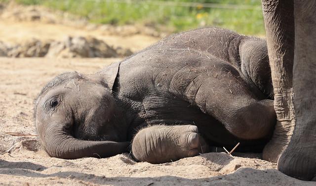 asiatic elephant Vinh artis 9K2A6740