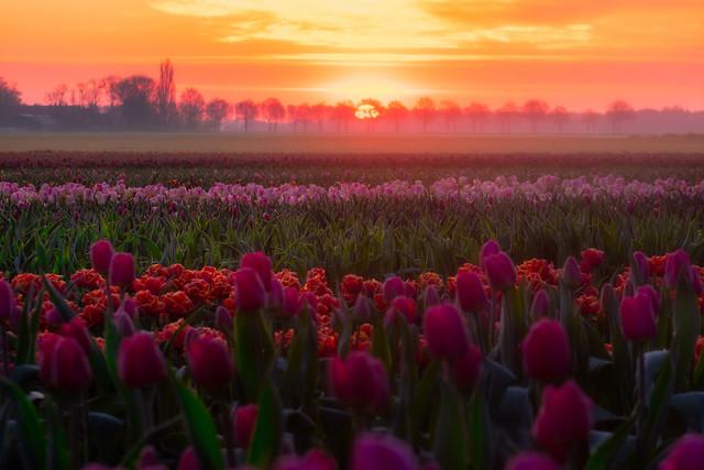 Dutch tulips field