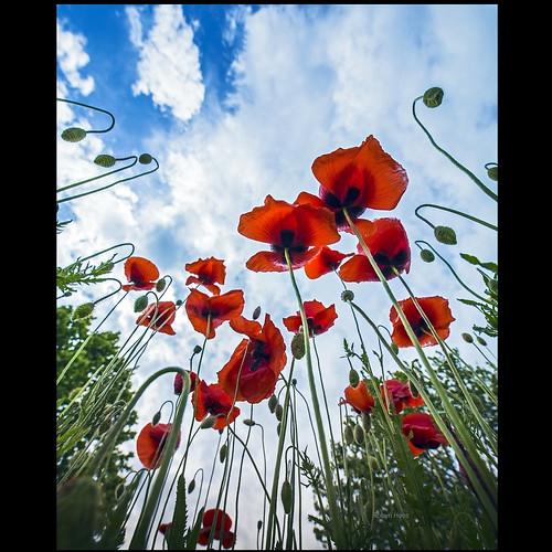 The season of poppies