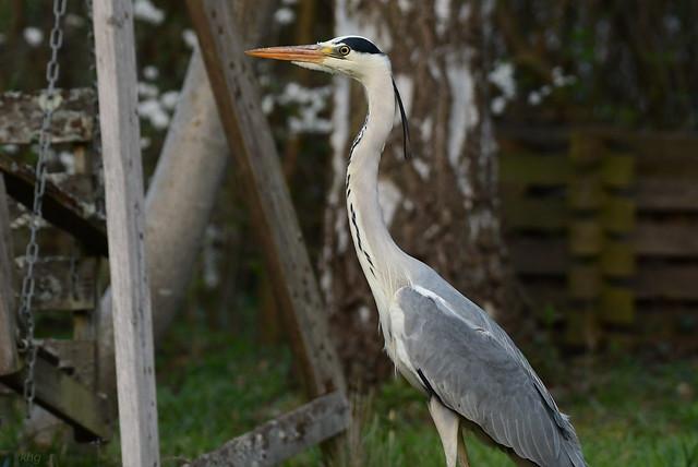 DSC_1920 Graureiher - Grey Heron  -  *Explore*