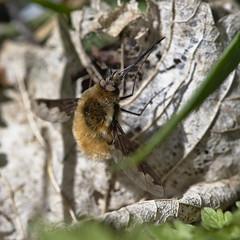 bee fly (Bombylius major)