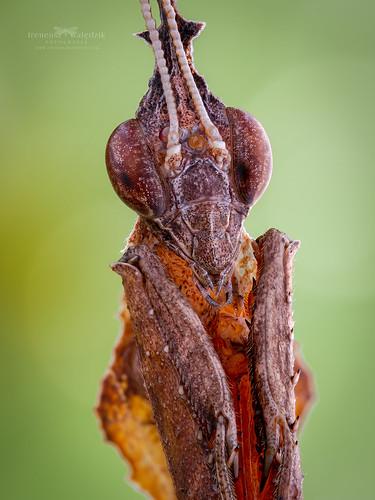 Phyllocrania paradoxa.