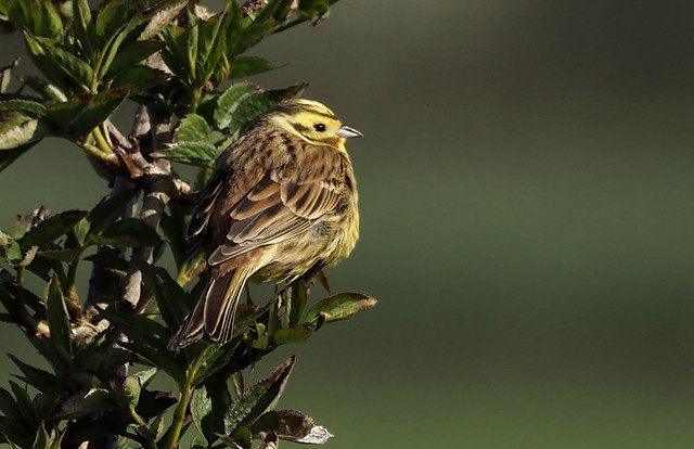 'A little bit of bread'.  Yellowhammer in early morning sun.