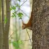 Squirrel | May 1, 2021 | Bornhöved - Segeberg District - Schleswig-Holstein - Germany