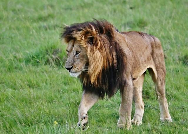 Male Lion Walking (Panthera leo)