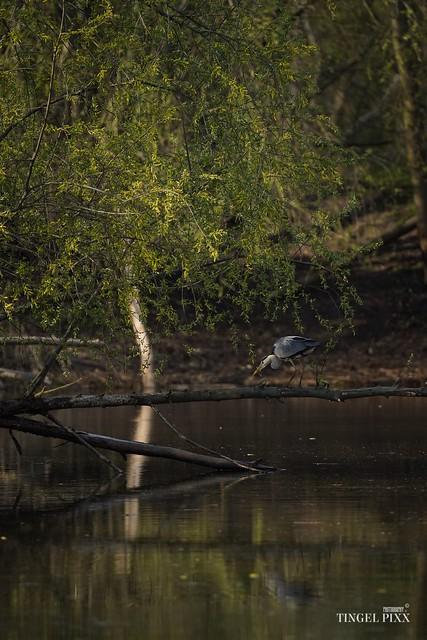 Graureiher ( Ardea cinerea )