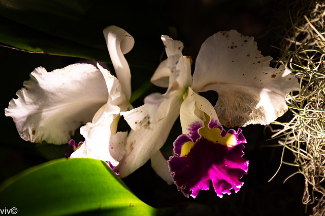 Gracefully ageing Cattleya orchids