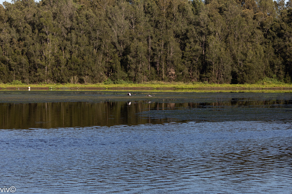 Scenic Bicentennial Park wetlands with birds including Swans flying low over the water, Homebush, New South Wales, Australia