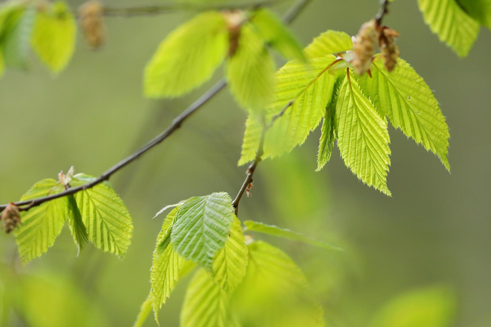Hornbeam Leaves, Abbot's Wood