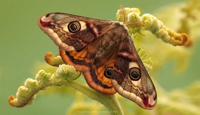 20pg4801 Emperor Moth, Saturnia pavonia