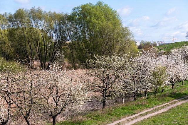 Berlin, Kienbergpark: Blühende Bäume an der Wuhle - Flowering trees on the Wuhle shore