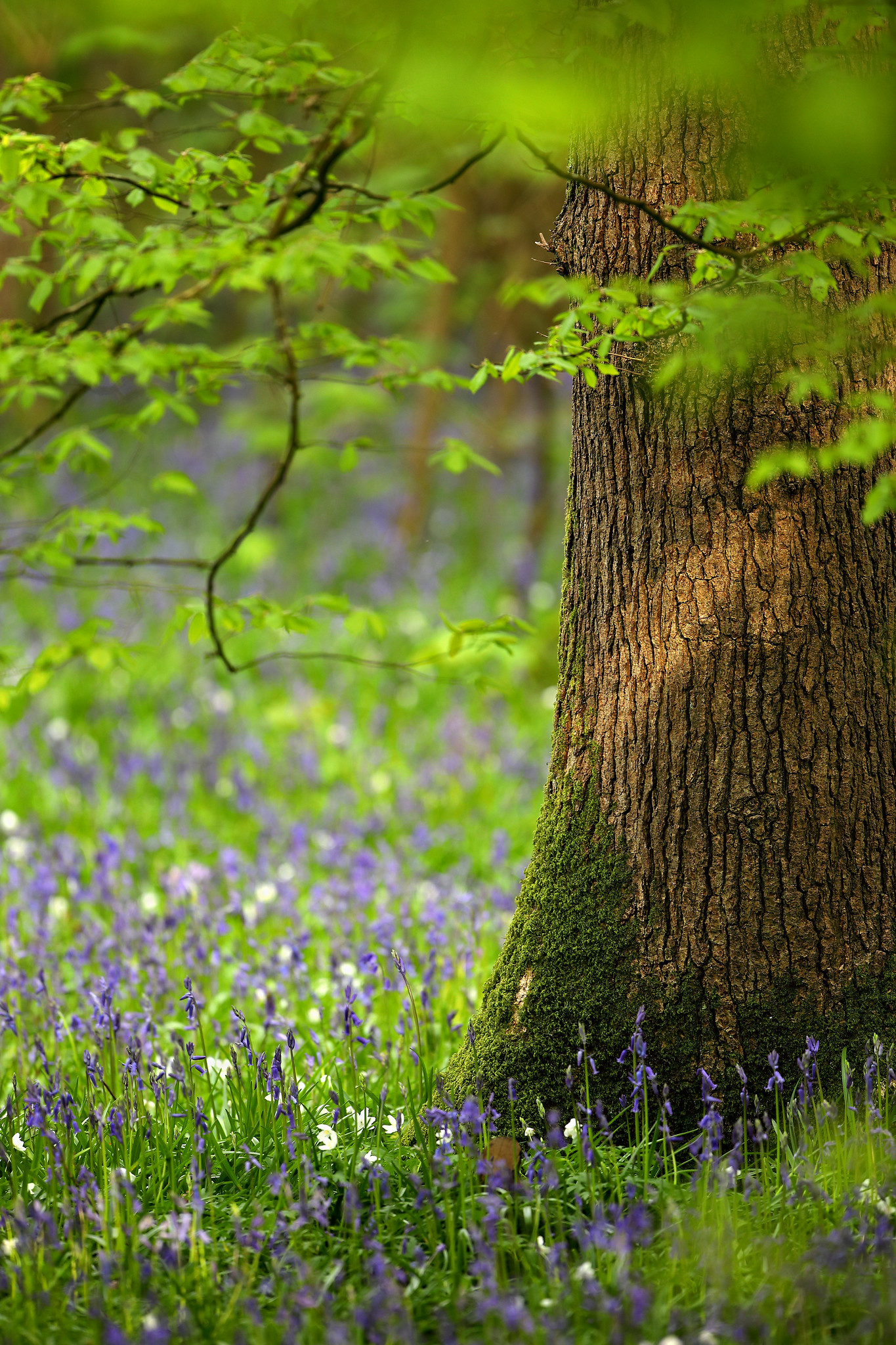Bluebells, Wood Anemones and Oak, Abbot's Wood