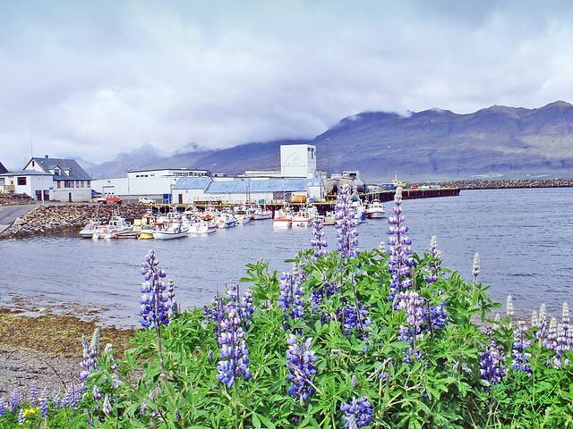Islande, la baie avec le petit port avec les Lupins à Djúpivogur