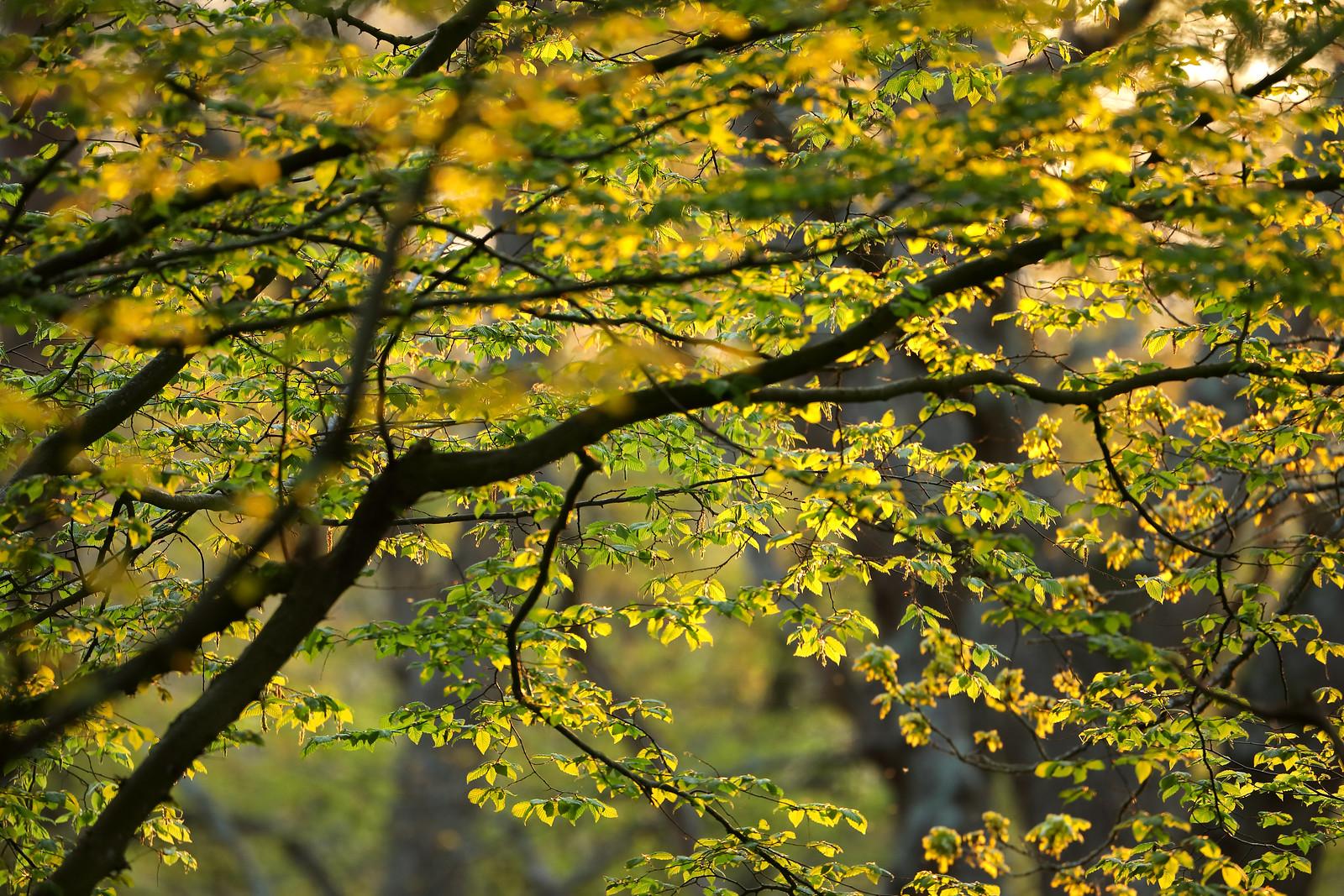 Hornbeam tree in evening sunshine, Highlands Wood.