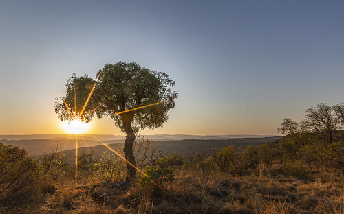 cussoniaspicata cabbagetree kuduprivatenaturereserve kuduranch kudugameranch lydenburg southafrica mpumalanga