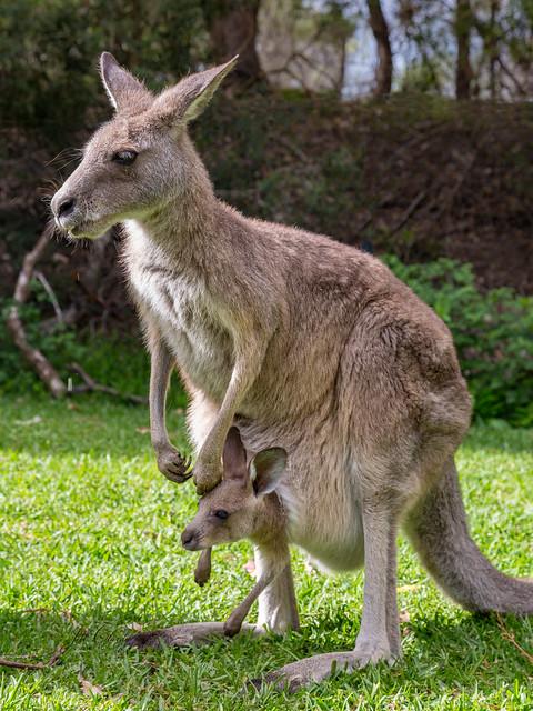 Armchair Traveling - A Mama Kangaroo in Australia