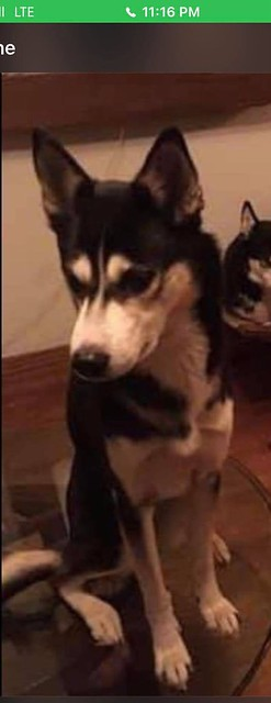 LOST black & white female Husky dog in #ForestLawn. Pls contact Krzysztof (Kris) 587-585-2317 if seen/ found. DO NOT CHASE OR FEED! Please rt, share, watch, help find pup page- https://bit.ly/2BxTYim