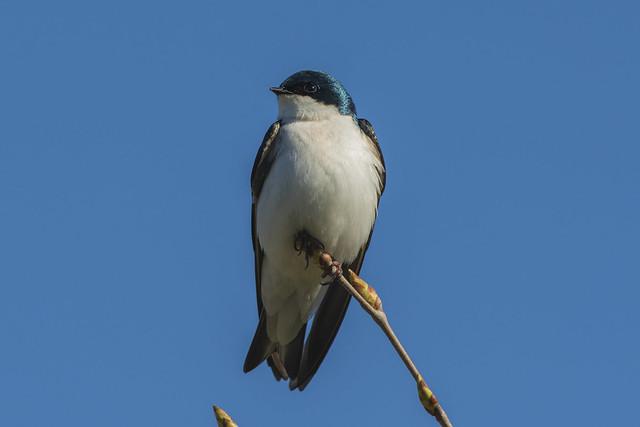 Tree Swallow | Morning Perch