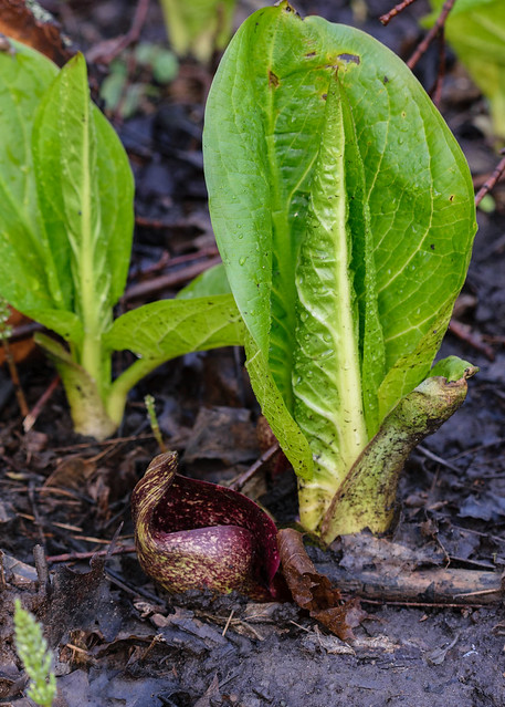 Skunk Cabbage & Flower - 0267