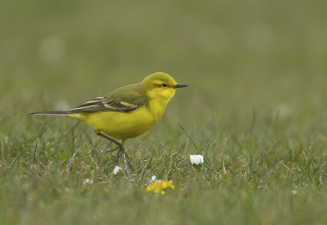 Yellow Wagtail  Yorkshire England