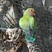Rosy-faced Lovebird, Juvenile