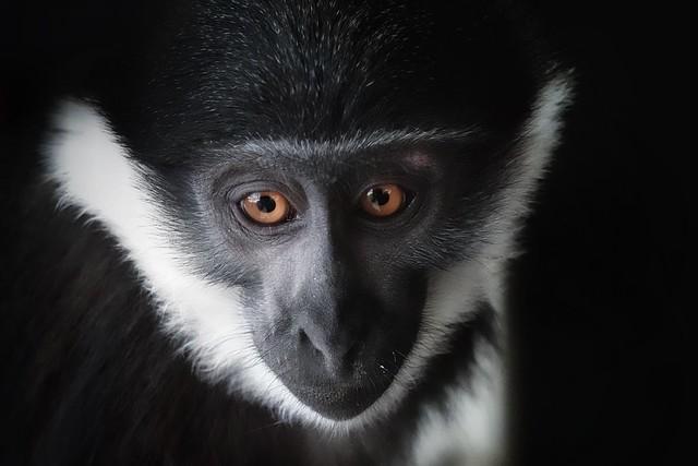 L'Hoest's Monkey!