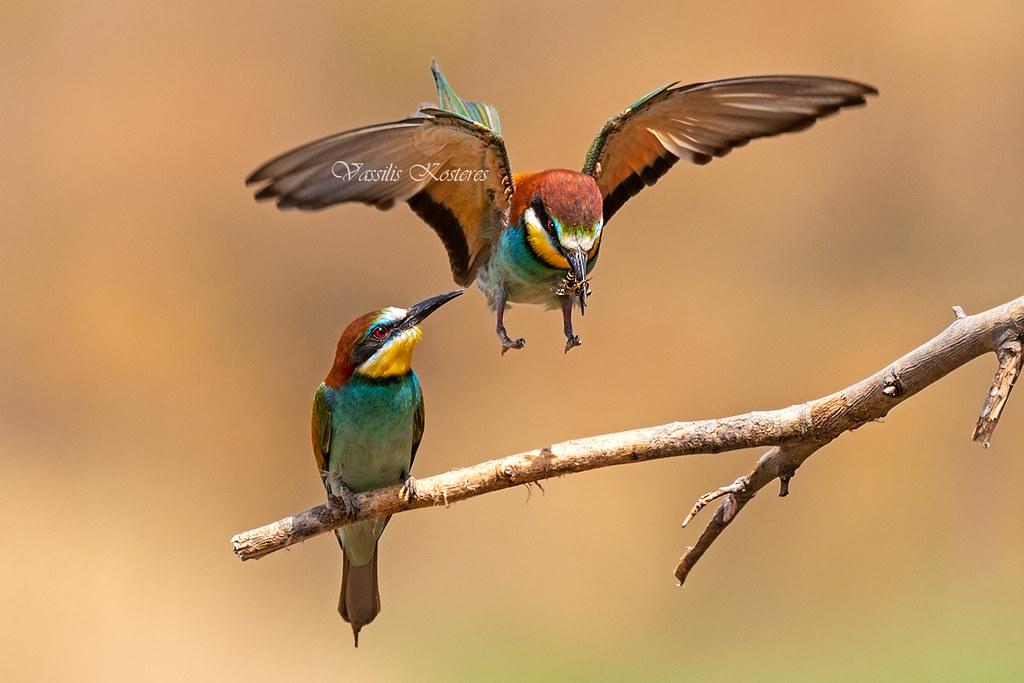 Merops apiaster, Μελισσοφάγος, European bee-eater