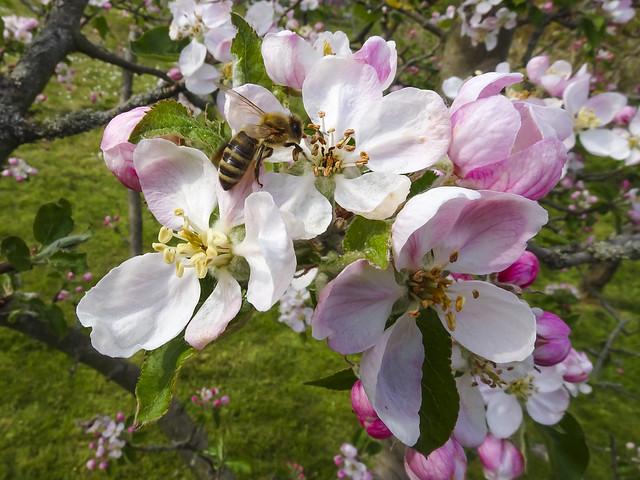 Apfelblüte ; Apple blossom