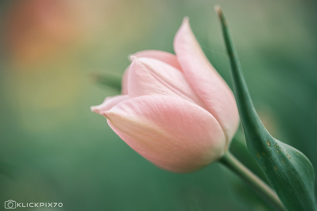 tulips dream