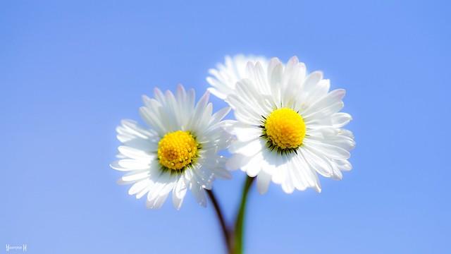 9687 - Daisy