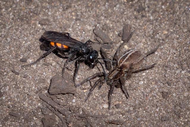 Frühlings-Wegwespe (Anoplius viaticus) jagd eine Scheintarantel