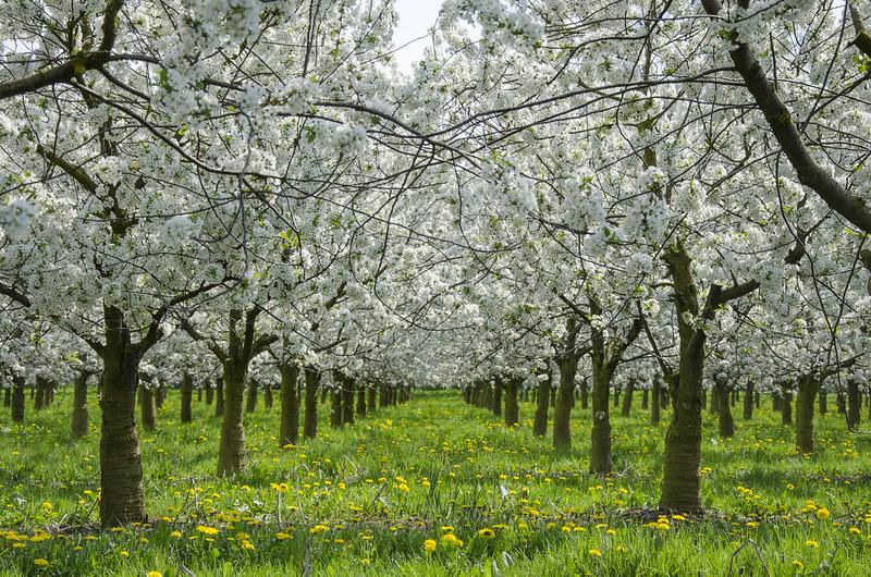 Kirschblüte in Liebenau-Ostheim
