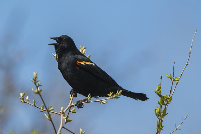 Red-winged Blackbird Sing Song