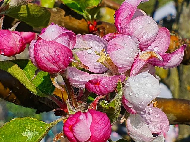 Apple Tree Blossom variety Rubinette