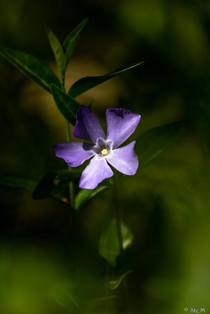 Pervenche ou Violette du Sorcier