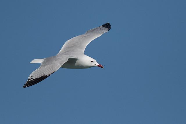 Goéland d'Audouin - Audouin's Gull