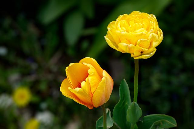 Vorgarten Blumen / Front garden flowers