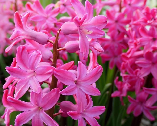 Bright Pink Hyacinths