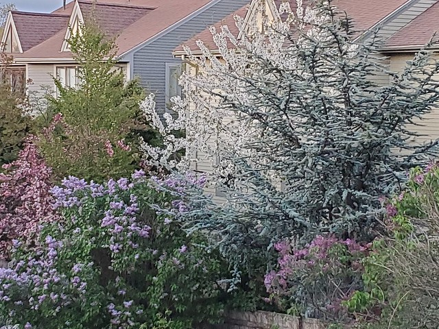 Lilacs & other Spring blossoms