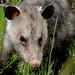Flickr photo 'Oppossum (Didelphis virginiana)' by: Mary Keim.