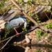 Night Heron (Nycticorax nycticorax) with lunch - Prague Zoo - wild