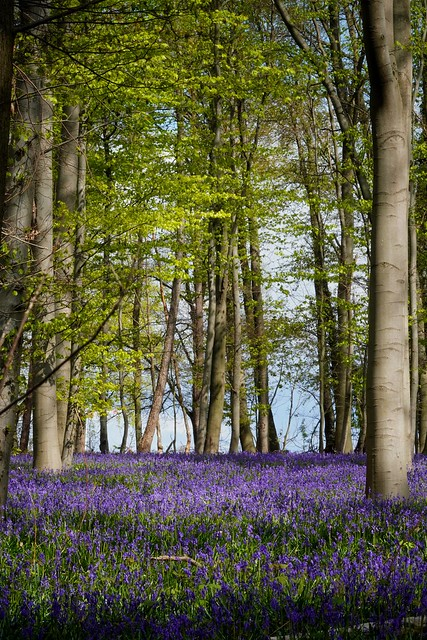 Im Wald der blauen Blumen.
